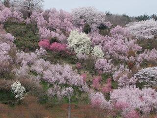 2011_0418花見山0089.JPG