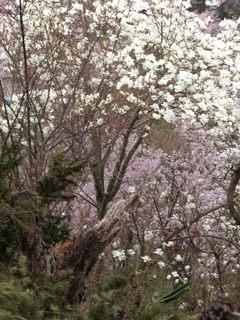 2011_0418花見山0090.JPG