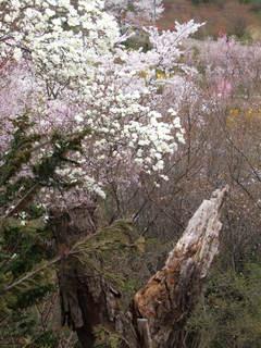 2011_0418花見山0092.JPG