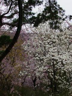 2011_0418花見山0093.JPG